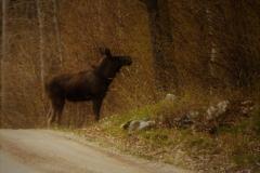 Älg på Söndagsvägen. Foto: Bertil G